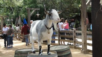 goat1_001